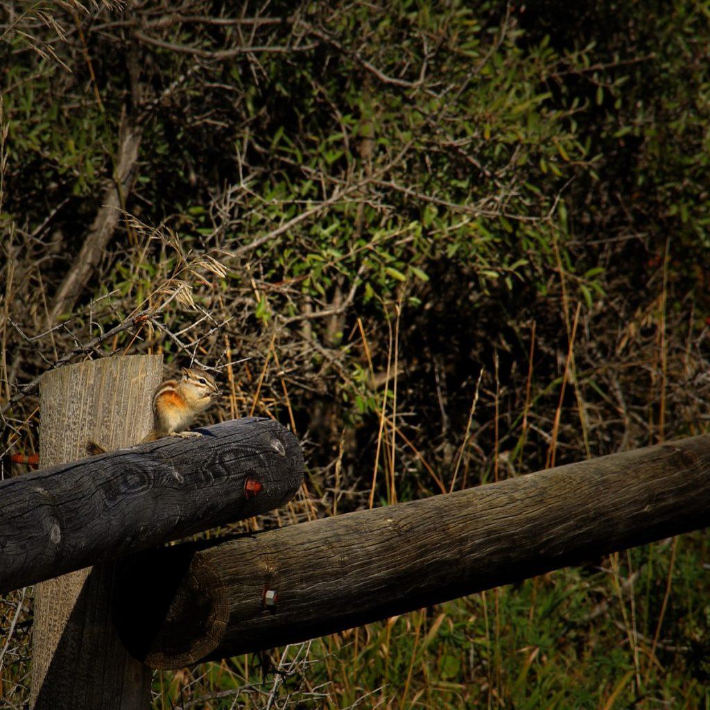 IMG_0935x_yellow_pine_chipmunk